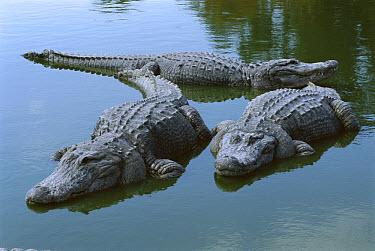 American Alligator (Alligator mississippiensis) three large adults laying in shallow water, Florida  -  Heidi & Hans-Juergen Koch