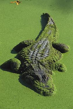 American Alligator (Alligator mississippiensis) resting motionless in duckweed swamp, Florida  -  Heidi & Hans-Juergen Koch
