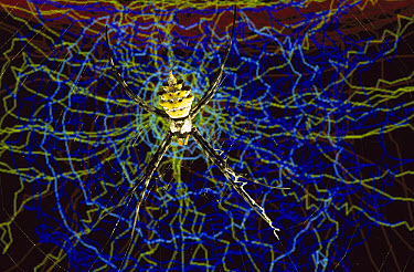 Spider research, a computer simulation of a Spider spinning its web is seen behind a live Spider in its web, University of Aarhus, Denmark  -  Heidi & Hans-Juergen Koch