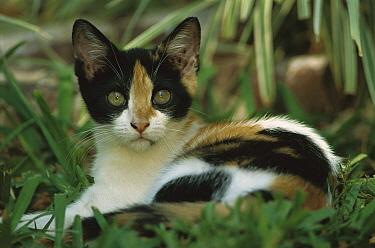 Domestic Cat (Felis catus) juvenile resting in dense vegetation in a garden, The Hemingway House, Key West, Florida  -  Heidi & Hans-Juergen Koch