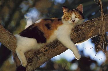 Domestic Cat (Felis catus) Calico relaxing in a tree above the garden, Hemingway House, Key West, Florida  -  Heidi & Hans-Juergen Koch
