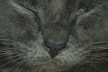 Domestic Cat (Felis catus) close-up of a sleeping cat, The Hemingway House, Key West, Florida  -  Heidi & Hans-Juergen Koch