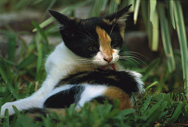 Domestic Cat (Felis catus) Calico in the garden cleaning its fur, The Hemingway House, Key West, Florida  -  Heidi & Hans-Juergen Koch