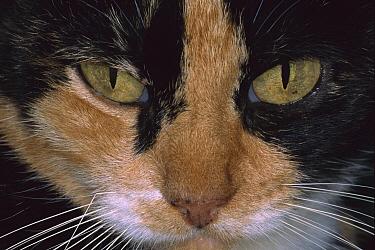 Domestic Cat (Felis catus) close-up of face, The Hemingway House, Key West, Florida  -  Heidi & Hans-Juergen Koch