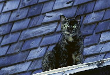 Domestic Cat (Felis catus) sitting on a rain gutter, overlooking the garden, The Hemingway House, Key West, Florida  -  Heidi & Hans-Juergen Koch