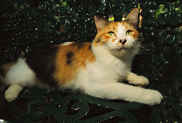 Domestic Cat (Felis catus) Calico resting on a bench in the garden, The Hemingway House, Key West, Florida  -  Heidi & Hans-Juergen Koch