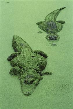 American Alligator (Alligator mississippiensis) pair in a duckweed swamp, their bodies covered with duckweed, Florida  -  Heidi & Hans-Juergen Koch