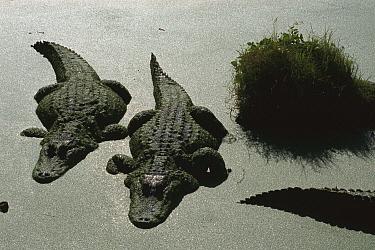 American Alligator (Alligator mississippiensis) pair resting motionless in duckweed swamp, Florida  -  Heidi & Hans-Juergen Koch