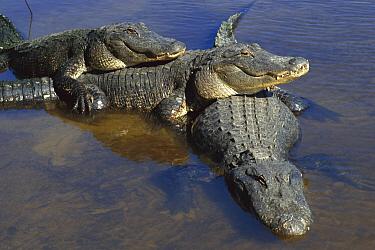 American Alligator (Alligator mississippiensis) three adults, laying in shallow water, Florida  -  Heidi & Hans-Juergen Koch