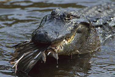 American Alligator (Alligator mississippiensis) with a freshly killed Egret in its mouth, unlike mammal predators they don't depend on food as a permanent energy supply, in summer and spring they eat...  -  Heidi & Hans-Juergen Koch