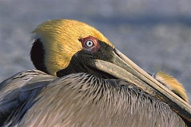 Brown Pelican (Pelecanus occidentalis) in breeding plumage, Indian Shores, Florida  -  Heidi & Hans-Juergen Koch