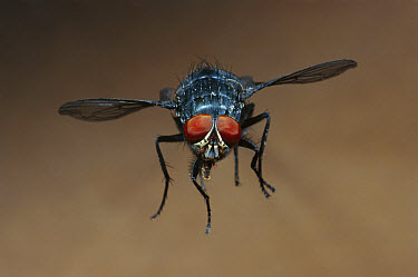 Blue Bottle Fly (Calliphora erythrocephala) flying, worldwide distribution  -  Heidi & Hans-Juergen Koch