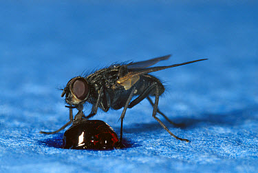 House Fly (Musca domestica) on a napkin, feeding on a drop of marmalade, worldwide distribution  -  Heidi & Hans-Juergen Koch