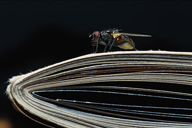 House Fly (Musca domestica) on a folded newspaper, worldwide distribution  -  Heidi & Hans-Juergen Koch
