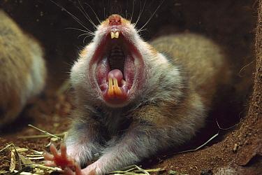 Golden Hamster (Mesocricetus auratus) yawning in its subterranean sleeping nest showing sharp teeth  -  Heidi & Hans-Juergen Koch