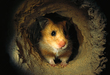 Golden Hamster (Mesocricetus auratus) sitting in the course of its subterranean burrow  -  Heidi & Hans-Juergen Koch