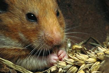 Golden Hamster (Mesocricetus auratus) feeding on wheat  -  Heidi & Hans-Juergen Koch