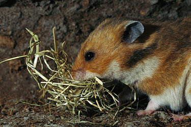 Golden Hamster (Mesocricetus auratus) pregnant female transports hay in her mouth for nest building  -  Heidi & Hans-Juergen Koch