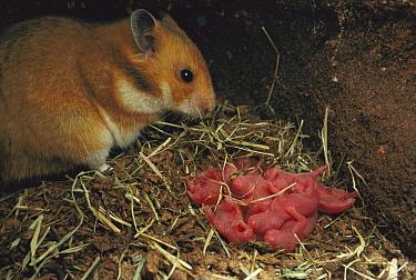 Golden Hamster (Mesocricetus auratus) mother with newborn young in nest, Germany  -  Heidi & Hans-Juergen Koch