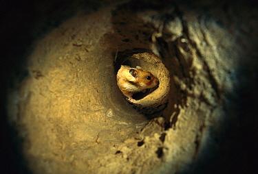 Golden Hamster (Mesocricetus auratus) in the subterranean course of its burrow  -  Heidi & Hans-Juergen Koch