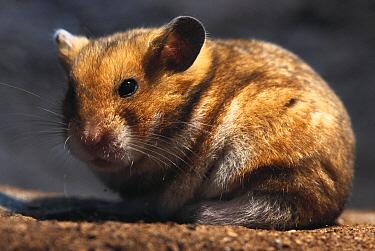 Golden Hamster (Mesocricetus auratus) portrait of a male sitting  -  Heidi & Hans-Juergen Koch