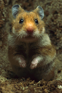 Golden Hamster (Mesocricetus auratus) portrait  -  Heidi & Hans-Juergen Koch