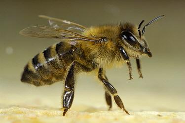 Honey Bee (Apis mellifera) guard caste in defense and attack body posture, Bee Station at the Bavarian Julius-Maximilians-University of Wurzburg, Germany  -  Heidi & Hans-Juergen Koch