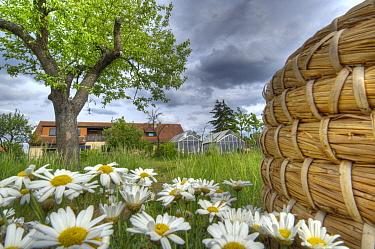 Honey Bee (Apis mellifera) station behind garden at the Bavarian Julius-Maximilians-University of Wurzburg, Germany  -  Heidi & Hans-Juergen Koch
