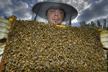 Honey Bee (Apis mellifera) swarm covering honeycomb held by biologist Mario Pahl wearing bee-protection clothes, Bee Station at the Bavarian Julius-Maximilians-University of Wurzburg, Germany  -  Heidi & Hans-Juergen Koch