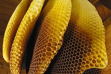 Honey Bee (Apis mellifera) honeycombs of a beehive, uninhabited, Bee Station at the Bavarian Julius-Maximilians-University of Wurzburg, Germany  -  Heidi & Hans-Juergen Koch