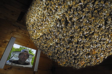 Honey Bee (Apis mellifera) natural beehive, built in wooden hut in the garden of the Bee Station, beekeeper Dirk Ahrens-Lagast looking through the opening, Bee Station at the Bavarian Julius-Maximilia...  -  Heidi & Hans-Juergen Koch
