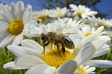 Honey Bee (Apis mellifera) collecting pollen from a daisy, Bee Station at the Bavarian Julius-Maximilians-University of Wurzburg, Germany  -  Heidi & Hans-Juergen Koch