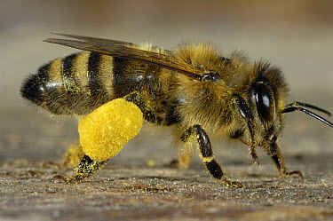 Honey Bee (Apis mellifera) with pollen baskets on hind legs, Bee Station at the Julius-Maximilians-University of Wurzburg, Germany  -  Heidi & Hans-Juergen Koch