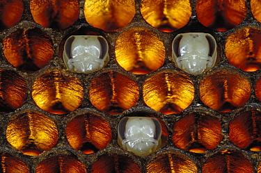 Honey Bee (Apis mellifera) brood honeycomb with pupas, Bee Station at the Bavarian Julius-Maximilians-University of Wurzburg, Germany  -  Heidi & Hans-Juergen Koch