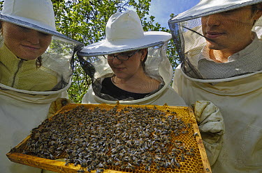 Honey Bee (Apis mellifera) swarm on honeycomb held by three biology students in bee protection clothes, Bee Station at the Bavarian Julius-Maximilians-University of Wurzburg, Germany  -  Heidi & Hans-Juergen Koch