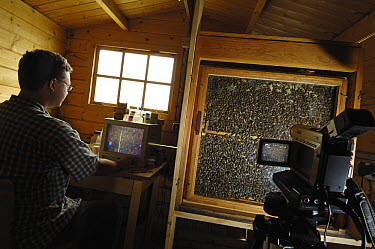 Honey Bee (Apis mellifera) biology student Hartmut Vierle observing beehive, Bee Station at the Bavarian Julius-Maximilians-University of Wurzburg, Germany  -  Heidi & Hans-Juergen Koch