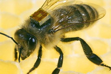 Honey Bee (Apis mellifera) with a RFID-Chip on it's back, Bee Station at the Bavarian Julius-Maximilians-University of Wurzburg, Germany  -  Heidi & Hans-Juergen Koch