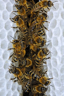 Honey Bee (Apis mellifera) honeycomb alley, the distance between the honeycombs results from standing heights of bees, Bee Station at the Bavarian Julius-Maximilians-University of Wurzburg, Germany  -  Heidi & Hans-Juergen Koch