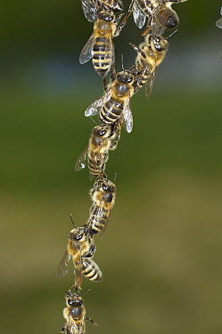 Honey Bee (Apis mellifera) chains made to repair honeycomb, Bee Station at the Bavarian Julius-Maximilians-University of Wurzburg, Germany  -  Heidi & Hans-Juergen Koch