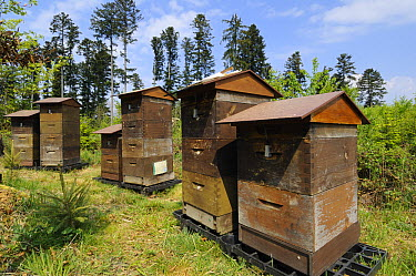 Traditional beehives in the Black Forest, Germany  -  Heidi & Hans-Juergen Koch