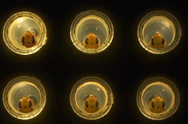 Honey Bee (Apis mellifera) pupa bred in vitro, Bee Station at the Bavarian Julius-Maximilians-University of Wurzburg, Germany  -  Heidi & Hans-Juergen Koch