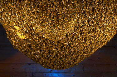 Honey Bee (Apis mellifera) natural beehive, built in wooden hut in the garden of the Bee Station at the Bavarian Julius-Maximilians-University of Wurzburg, Germany  -  Heidi & Hans-Juergen Koch