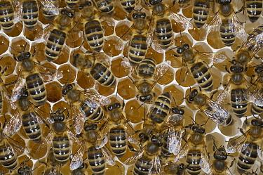 Honey Bee (Apis mellifera) on honeycomb with honey filled cells, Bee Station at the Bavarian Julius-Maximilians-University of Wurzburg, Germany  -  Heidi & Hans-Juergen Koch