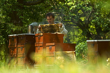 Honey Bee (Apis mellifera) keeper Dirk Ahrens-Lagast controlling his beehives, Bee Station at the Bavarian Julius-Maximilians-University of Wurzburg, Germany  -  Heidi & Hans-Juergen Koch
