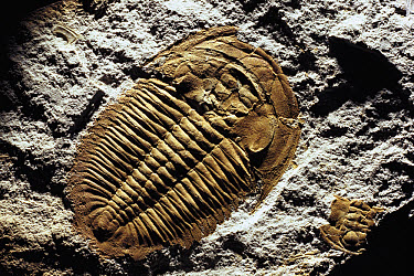 Trilobite (Xystridura sp) fossil, Cambrian Era, 570 to 504 million years ago, specimen from Beetle Creek, Mt Isa, Queensland, Australia Also found in Antarctica, north China, central Asia  -  Reg Morrison/ Auscape