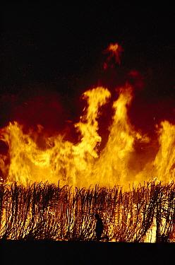 Burning sugar cane near Cairns, Queensland, Australia  -  Reg Morrison/ Auscape