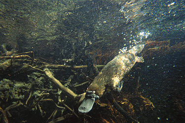 Platypus (Ornithorhynchus anatinus) swimming underwater, New South Wales, Australia  -  Reg Morrison/ Auscape