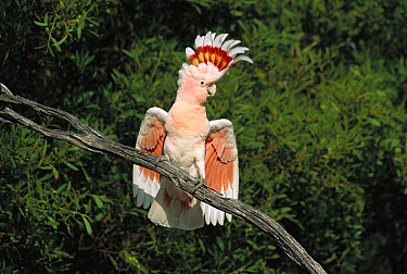 Major Mitchell's Cockatoo (Lophochroa leadbeateri) screeching, cresting and spreading wings to intimidate photographer, near Eyre Bird Observatory, Great Australian Bight, Western Australia  -  Paul Evans/ Auscape