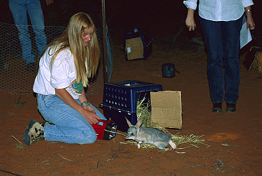 Bilby (Macrotis lagotis) with a radio collar, released by a woman as part of the Arid Recovery Project, Roxby Downs, South Australia  -  Davo Blair/ Auscape