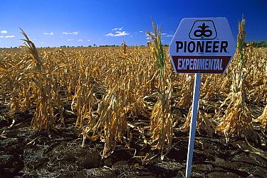 Experimental corn crop, field trial near Emerald, Queensland, Australia  -  Davo Blair/ Auscape